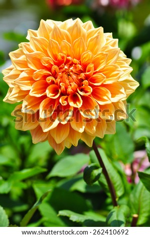 single beautiful summer of Garden Dahlia or Dahlia hybrid - stock photo