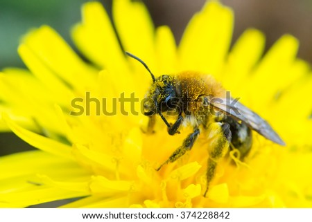 Single bee feeds on a dandelion in Spring. Brecon Beacons, Wales. April