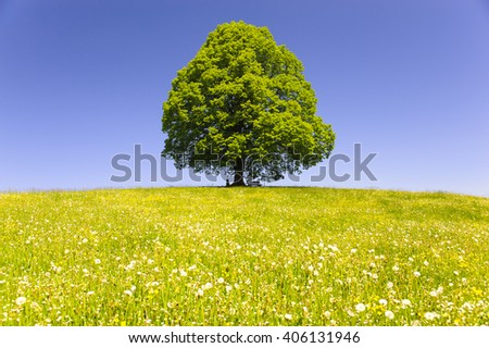 single big old linden tree isolated in meadow at spring - stock photo