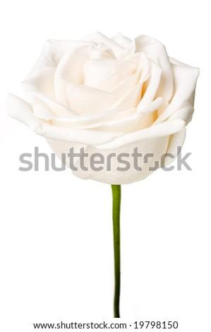 Single big white rose isolated on white - stock photo