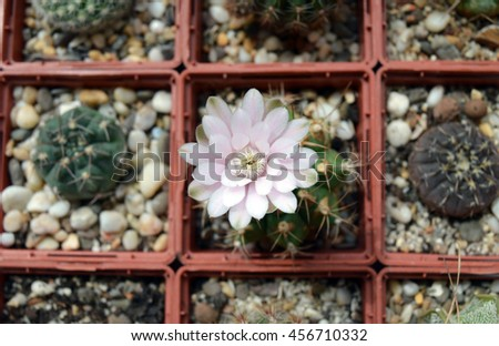 Single blooming cactus in succulent collection: pink flower of gymnocalycium anisitsii among other potted cacti - stock photo