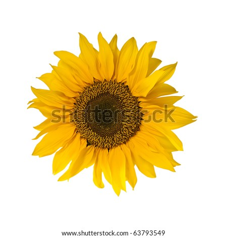 single blossom of sunflower isolated on white background, square crop