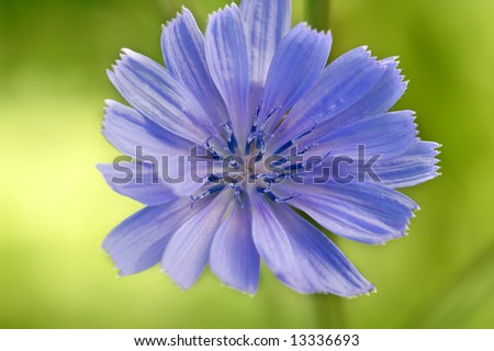 Single Blue Chicory Flower Cichorium intybus L.) Macro Horizontal - stock photo