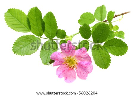 Single branch of dog-rose with green leaf and pink flower. Isolated on white background. Close-up. Studio photography. - stock photo