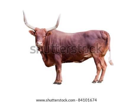 single bull isolated on white background - stock photo
