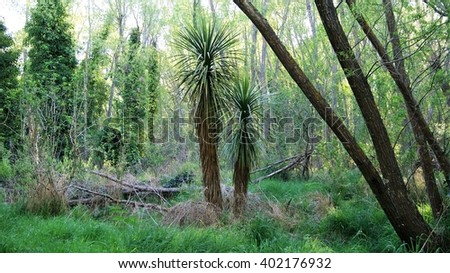Single cabbage tree amongst other trees - stock photo