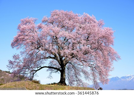 cherry tree latin singles Tree (plural trees or  but typically over four meters in height, with a single trunk that grows in girth with age and branches  latin: arvol é m.