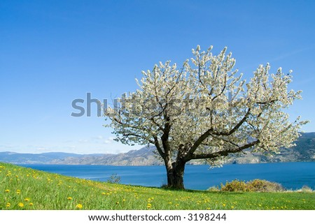 Single cherry tree in full bloom with mountain and lake background - stock photo