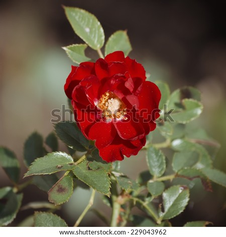 Single Close Up Red Rose Over Natural Green Background - stock photo