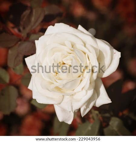 Single Close Up White Rose Over Natural Background - stock photo