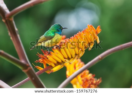 single collared sunbird perched on aloe flowers in South Africa - stock photo