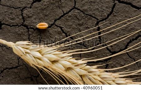 Single corn and ear on wasteland background - stock photo