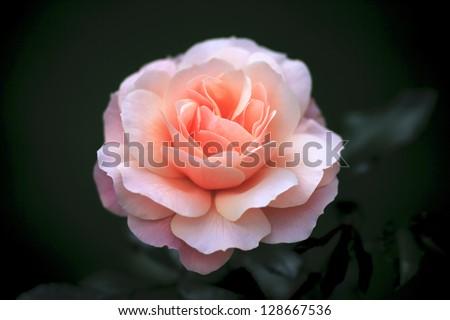 single cream rose on dark background - stock photo