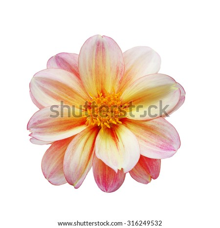 Single dahlia flower head isolated on white background - stock photo