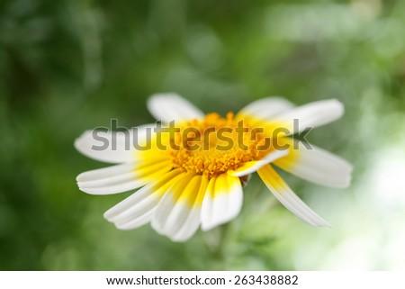 single daisy isolated on green background - shallow DOF - stock photo