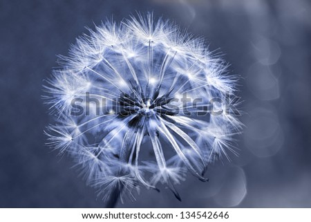 single dandelion in art blue shades and bokeh in background - stock photo