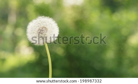 single dandelion on the meadow, selective focus