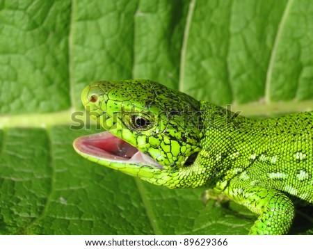Single dragon on green leave - stock photo