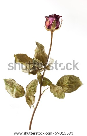 Single dried rose flower with dried leafs isolated white background - stock photo