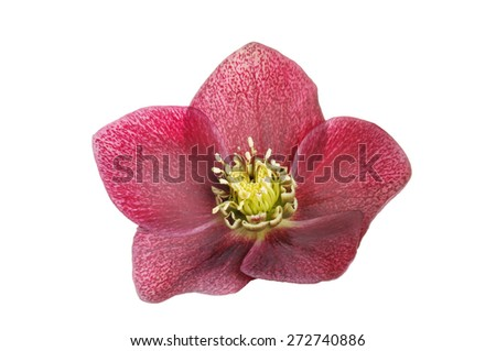 Single dusky red Helliborus flower isolated against white - stock photo