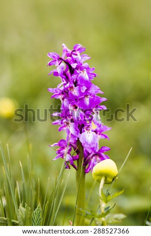 Single Early Purple orchid - orchis macula - stock photo