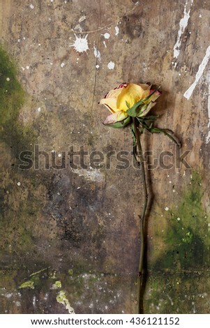 Single faded orange, yellow and red rose on an old, weathered wooden background in pastel colors