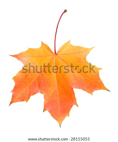 single fallen yellow and red maple leaf - stock photo