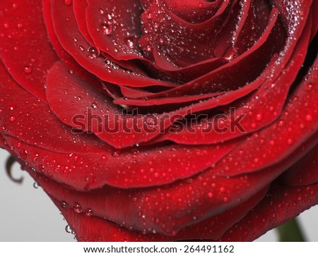 Single flower. Fresh red rose with drops of dew. - stock photo