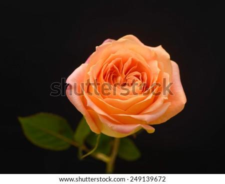 single flower of orange rose isolated on dark background - stock photo