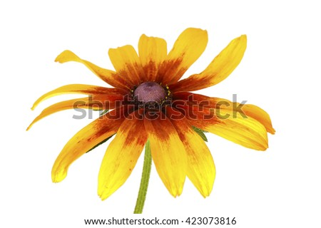 single flower of rudbeckia isolated on white background - stock photo