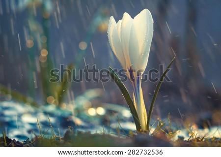 Single flower of white crocus in the spring rain - stock photo
