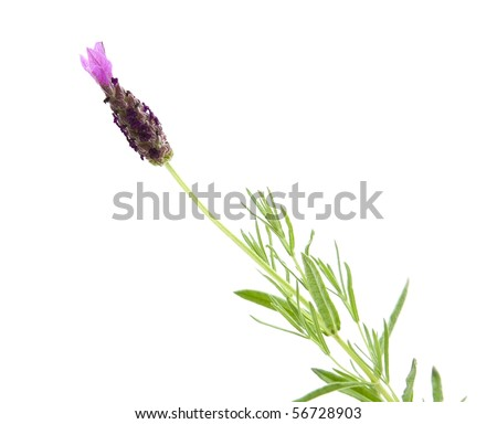single flowering stem of Lavandula Stoechas (French lavender; Spanish Lavender; Topped Lavender); isolated on white - stock photo