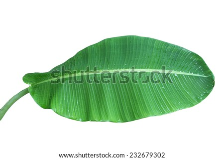 Single fresh banana leaf with stem isolated on white background - stock photo