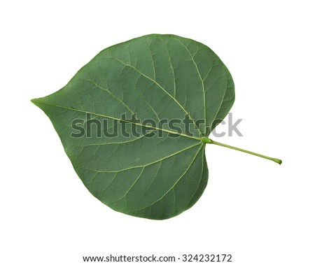 Single fresh redbud leaf  cordate isolated on white background - stock photo