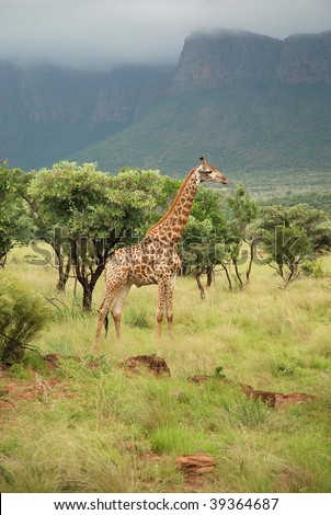 Single Giraffe in a game park in South Africa - stock photo