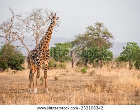 Single giraffe on the savanna in a national park in Tanzania, East Africa, at sunrise. Horizontal / landscape orientation.  - stock photo