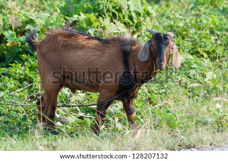 Single goat in the farm with field background.