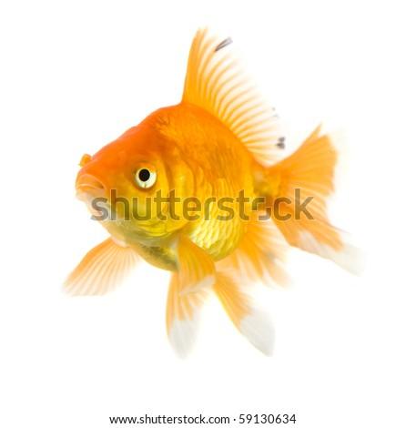 single Gold fish on isolated White Background - stock photo