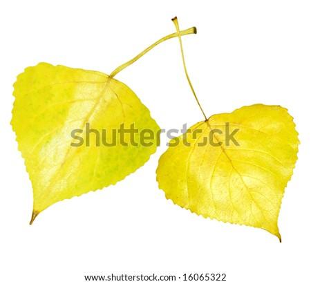 Single golden aspen leaf isolated on white background - stock photo