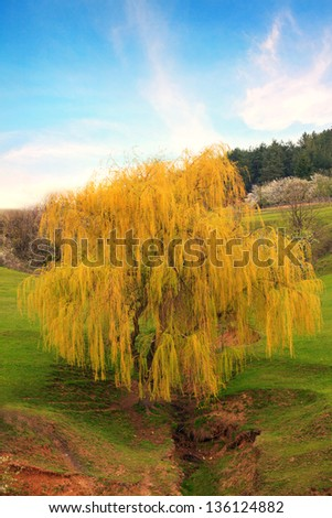 single golden oak tree in sunset time - stock photo