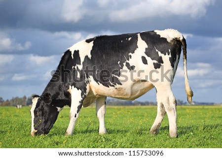 single grazing holstein cow in a field - stock photo