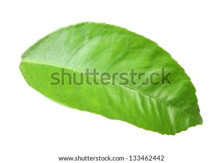 Single green leaf of citrus-tree. Isolated on white background. Close-up. Studio photography. - stock photo