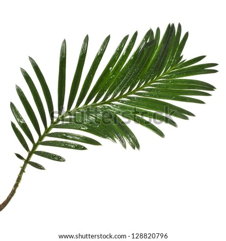 Single Green leaf of palm tree close up isolated on white background - stock photo