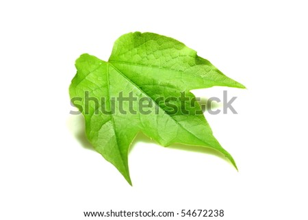 single green parthenocissus leaf isolated on white