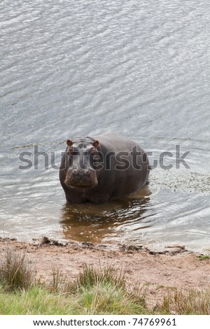 Single hippo standing in a river, South Africa - stock photo