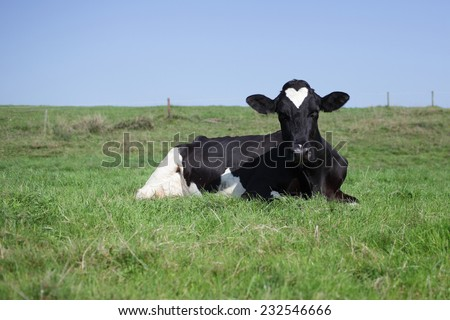 Single Holstein cow resting in a field with a remarkable heart-shaped white patch on its head