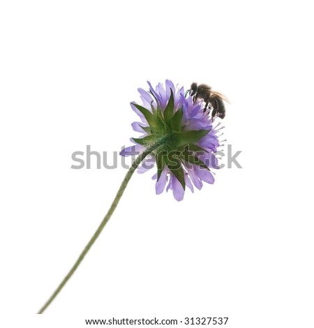 single isolated bee on a flower - stock photo