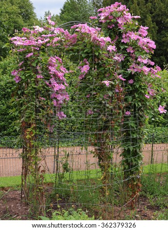 Single Large Flowered Pink Clematis on a Metal Pergola in a Country Cottage Garden in Staffordshire, England, UK  - stock photo