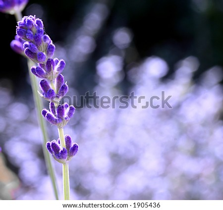 single lavender flower - stock photo