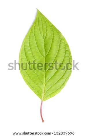 Single leaf isolated on white background - stock photo